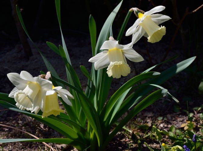 Narcisy z Vrbčan v plném rozkvětu