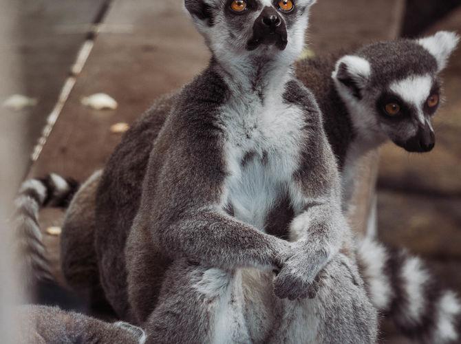 Lemur v ZOO