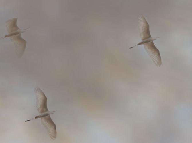 letka...volavka bílá