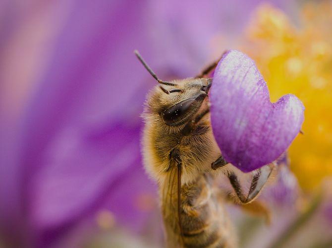 Včela opečovává koniklec velkokvětý