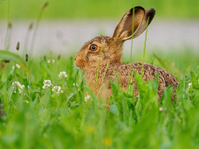 mladý zajíc