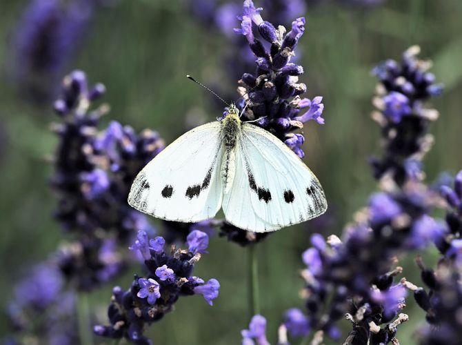 Křídla motýlí ...