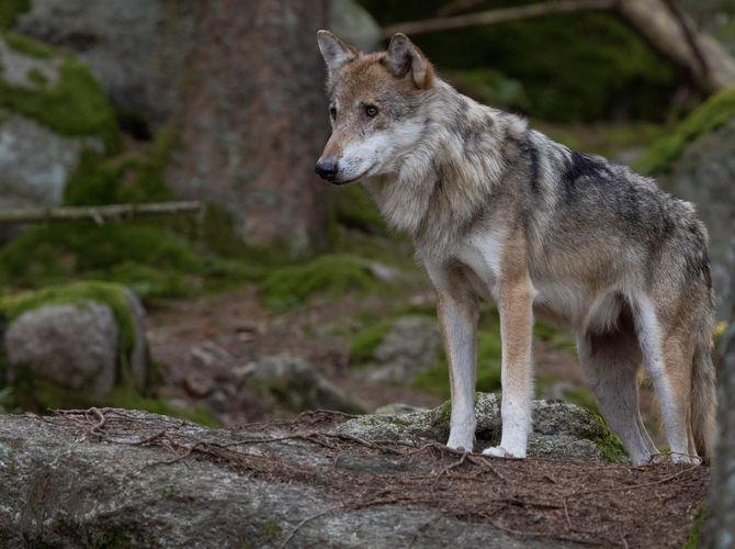 Vzpomínka na Šumavské Vlky