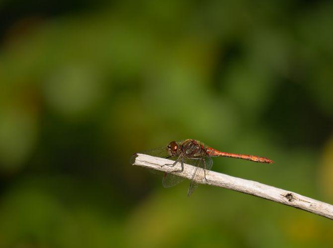 Vážka žihaná