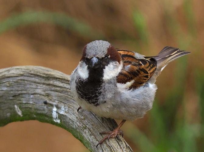 Vrabec domací