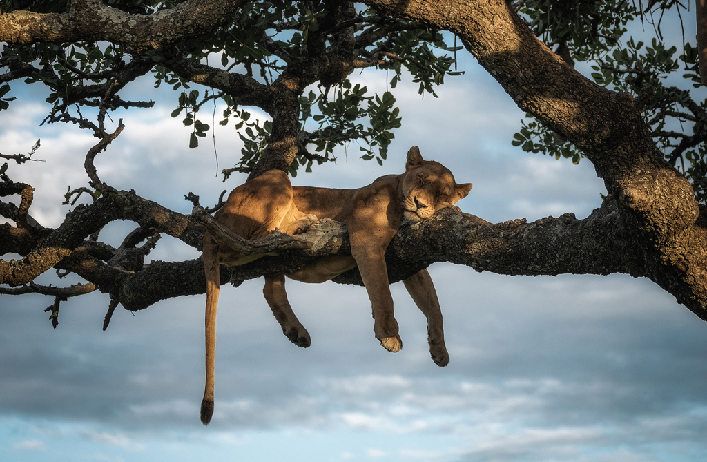 chris-schmid-sony-alpha-7RIII-a-pride-of-lions-sit-lazily-in-a-tree-as-the-sun-sets-behind_edited