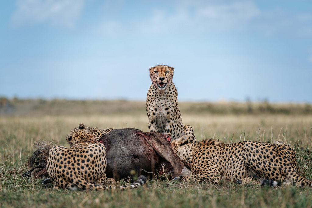 chris-schmid-sony-alpha-9-3-african-leopards-devour-their-kill-with-one-staring-straight-at-the-photographer[1]