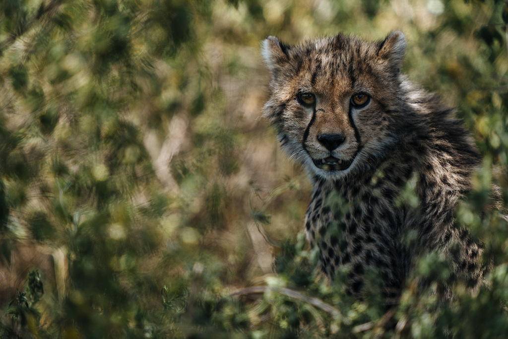 chris-schmid-sony-alpha-9-a-leopard-cub-stares-out-from-the-safety-of-overhanging-branches-staring-directly-at-the-photographer[1]