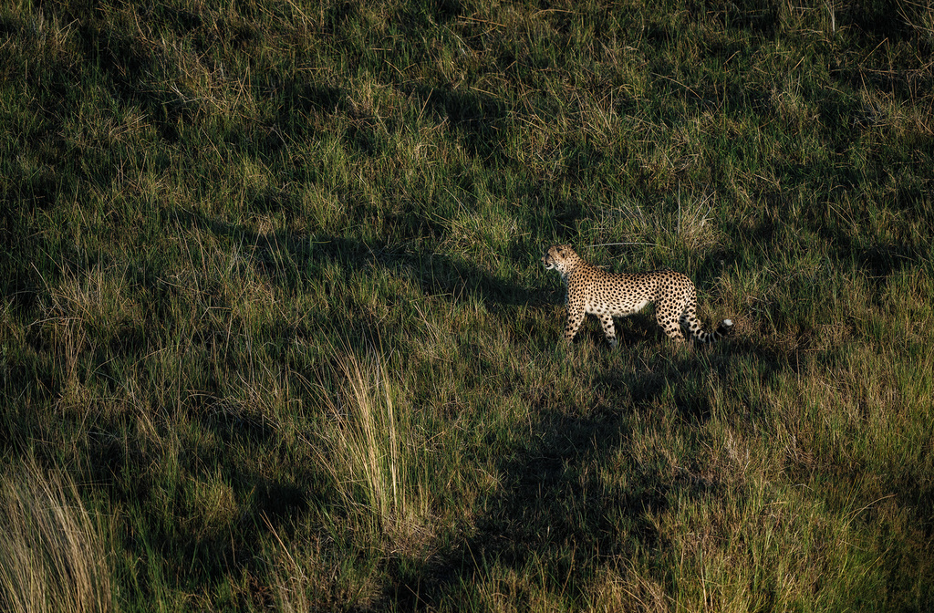 chris-schmid-sony-alpha-9-a-lone-leopard-crosses-the-grassland-looking-for-prey[1]