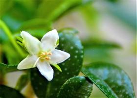 Caj-fukien-Tea-Ehretia-.jpg